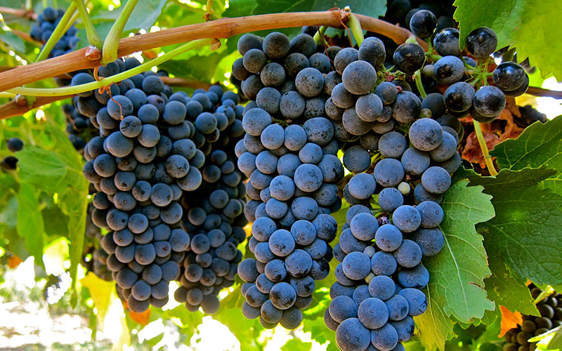 Petite Sirah grapes are also called Durif grapes in some regions.