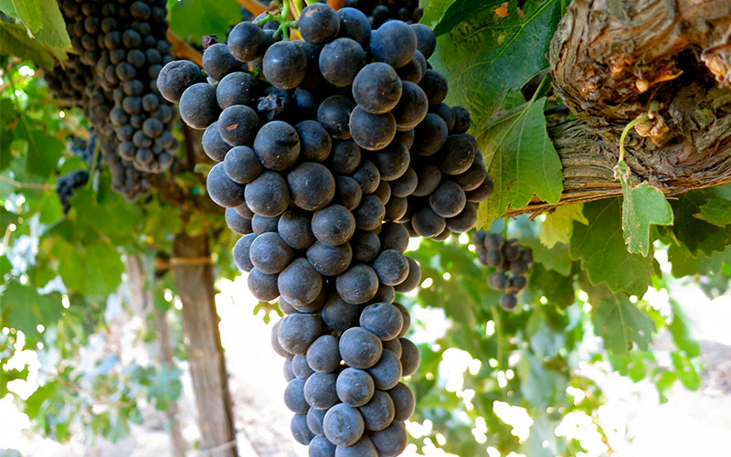Petite Sirah grapes (pictured) are a different type of grape than Syrah grapes.